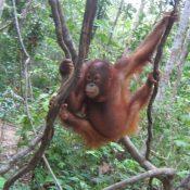 orangutan_jung